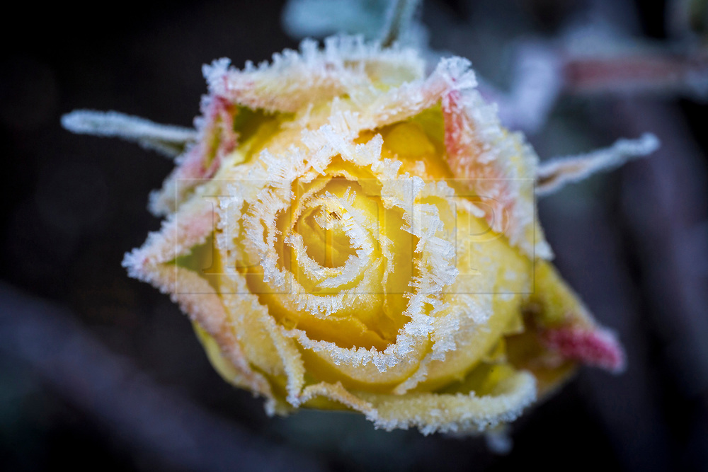 © Licensed to London News Pictures. 31/01/2019. Leeds UK. A yellow Rose is covered in frost this morning at Temple Newsam walled garden in Leeds after the coldest night of the year. Photo credit: Andrew McCaren/LNP
