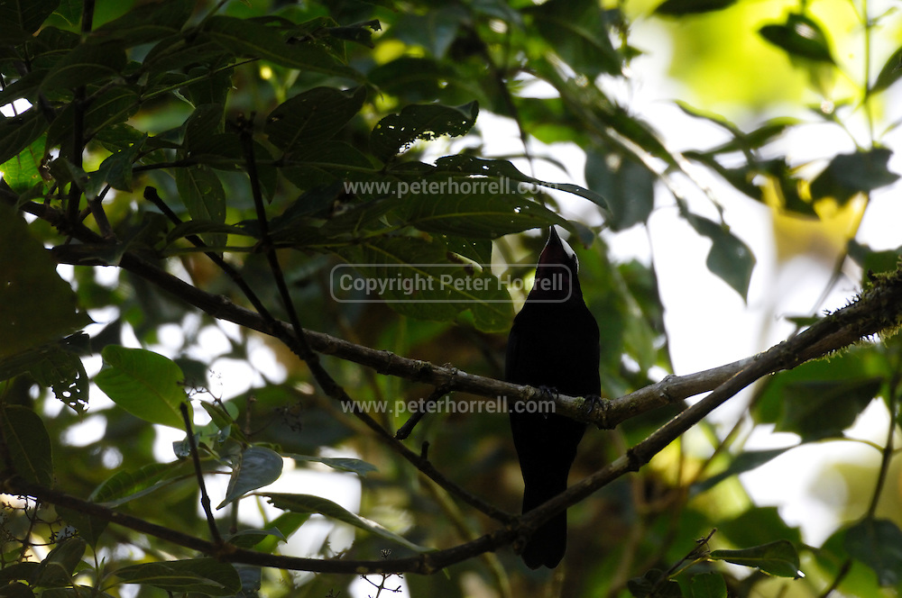 Ecuador, May 22 2010: White-capped Tanager (Sericossypha albocristata). Images from Cabanas San Isidro...Copyright 2010 Peter Horrell
