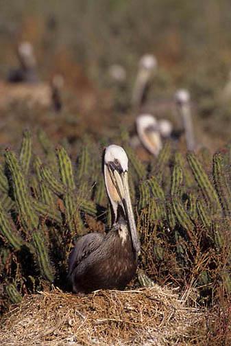 Brown Pelican, (Pelecanus occidentis) Sea of Cortez. Baja, Mexico Nesting.