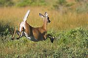 White-tailed deer, Odocoileus virginianus, running, Kejimkujik National Park, Canada