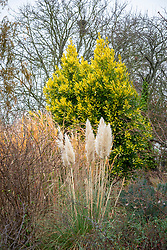 Pampas growing in front of Laurus nobilis 'Aurea' AGM - Yellow-leaved bay tree