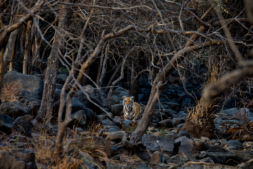 Bengal Tiger alone in a forest.  India.