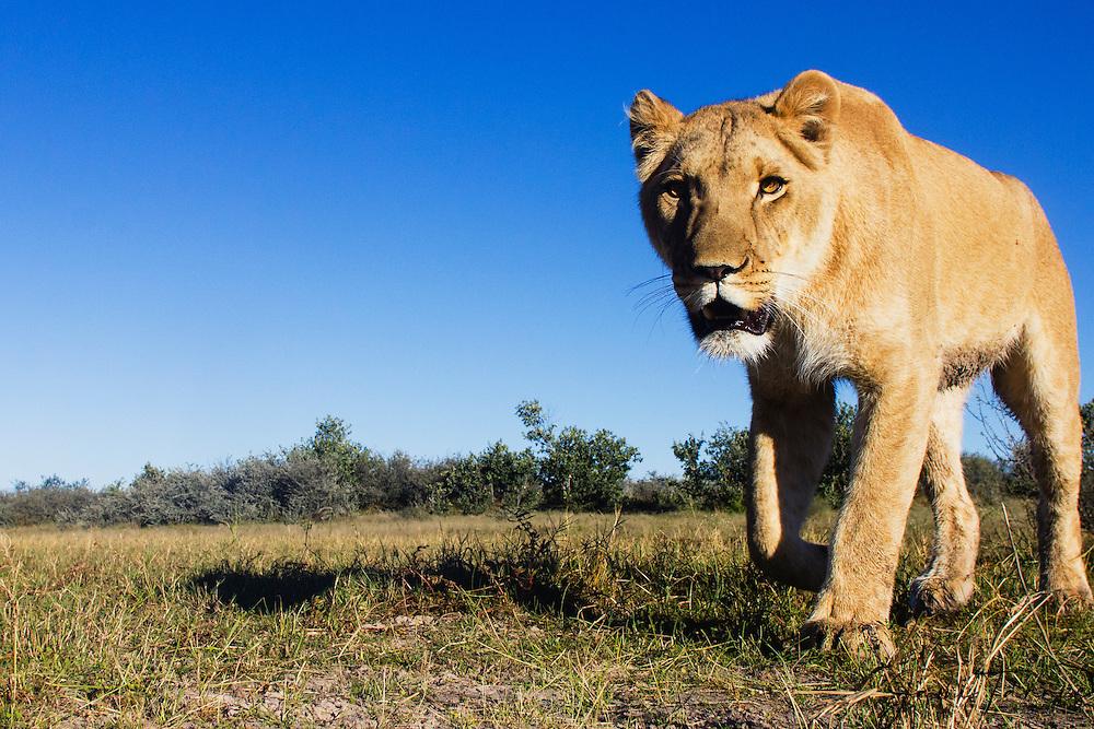 A female lioness walking toward camera, wide angle, (Panthera leo), Grasslands Private Reserve, Kalahari, Botswana Africa