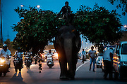 12th September 2014, New Delhi, India. An elephant loaded with fodder pillaged from the city's trees is ridden by a mahout on a busy road in New Delhi, India on the 12th September 2014<br /> <br /> Elephant handlers (Mahouts) eke out a living in makeshift camps on the banks of the Yamuna River in New Delhi. They survive on a small retainer paid by the elephant owners and by giving rides to passers by. The owners keep all the money from hiring the animals out for religious festivals, events and weddings, they also are involved in the illegal trade of captive elephants. The living conditions and treatment of elephants kept in cities in North India is extremely harsh, the handlers use the banned 'ankush' or bullhook to control the animals through daily beatings, the animals have no proper shelters are forced to walk on burning hot tarmac and stand for hours with their feet chained together. <br /> <br /> PHOTOGRAPH BY AND COPYRIGHT OF SIMON DE TREY-WHITE<br /> + 91 98103 99809<br /> email: simon@simondetreywhite.com photographer in delhi