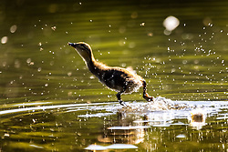© Licensed to London News Pictures. 15/06/2021. Leeds UK. A duckling jumps out of the water as it chases a fly across the lake at Golden Acre park in the bright sunshine in Leeds this morning. Photo credit: Andrew McCaren/LNP