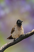 Pycnonotus xanthopygos, Yellow-vented Bulbul AKA White-Spectacled Bulbul, perched on a branch Photographed in Israel in April
