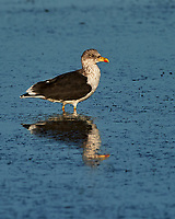 Lesser Black-backed Gull (Larus fuscus). Fort De Soto Park. Pinellas County, Florida. Image taken with a Nikon D4 camera and 500 mm f/4 VR lens.