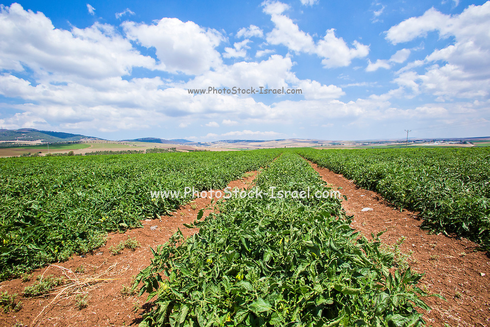 Organic Tomato Field. Photographed in Israel