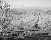9305-B3801-6 Cherry Fields near The Dalles, Oregon.