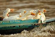 Happy Ducks, Ninh Bình, Vietnam