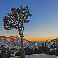 A weather-beaten pine grows through cracks in glacier-polished granite at Olmstead Point, a famous scenic turnout on the Tioga Pass Road through Yosemite National Park, California.  Behind are Tenaya Canyon, Cloud's Rest and Half Dome.