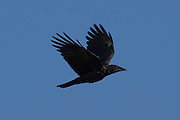 An American crow (Corvus brachyrhynchos) flies against a blue sky over Edmonds, Washington.