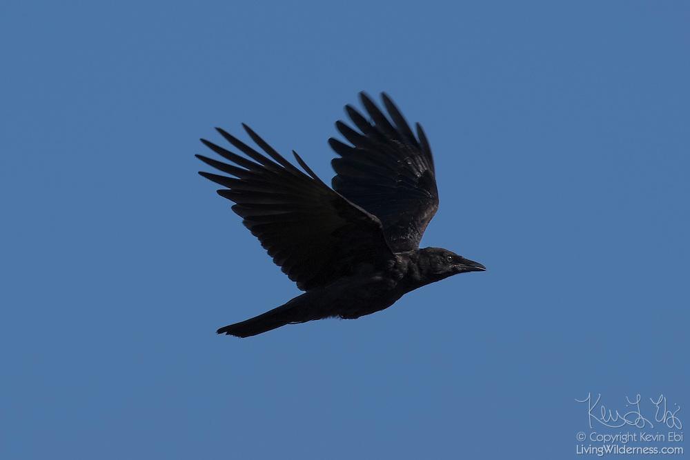 An American crow (Corvus brachyrhynchos) flies against a blue sky over Edmonds, Washington.