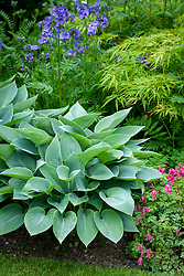 Hosta 'Hadspen Blue' in a border with acer, diecentra and Polemonium caeruleum - Jacob's Ladder