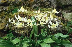 Erythronium californicum AGM. Californian Fawn lily