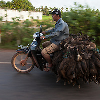 A man on a motorbike transports dozens of live ducks in a rural area of Takéo province, Cambodia