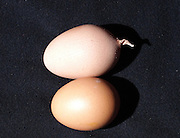 """LINFEN, CHINA - FEBRUARY 27: (CHINA OUT) <br /> <br /> An egg, which has a 3cm long """"tail"""", i in Linfen, Shanxi Province of China, A hen laid the egg in villager Mr. Lu's home in Liyuan village. Mr. Lu said that he has never seen an egg like this before<br /> ©Exclusivepix"""