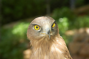 Close up of a Steppe Eagle, (Aquila nipalensis), in captivity