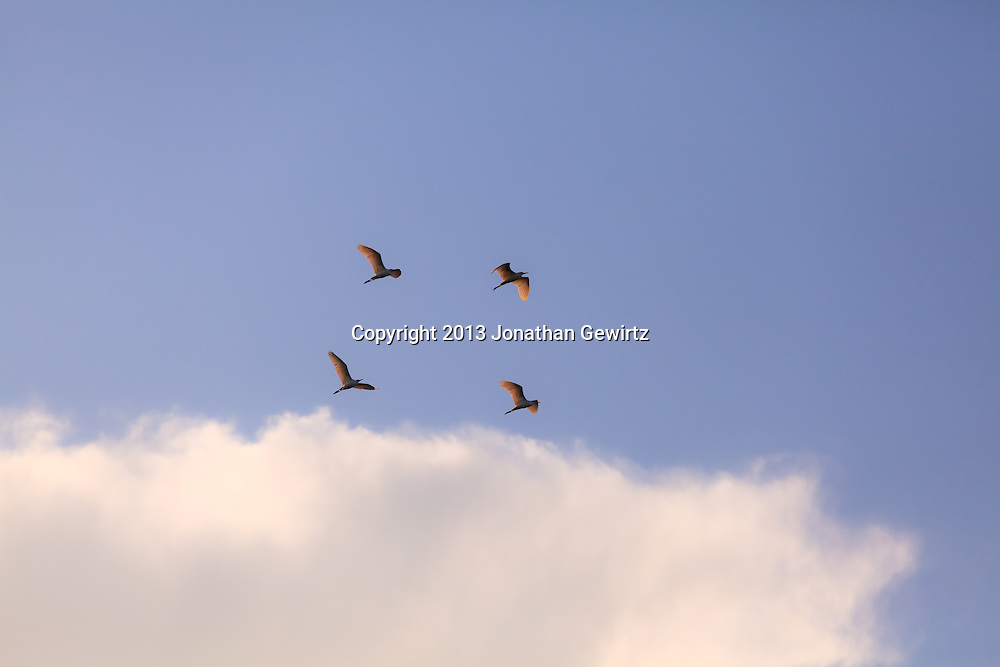 A group of four Great Egrets (Ardea alba) flying in picturesque formation in Everglades National Park, Florida. WATERMARKS WILL NOT APPEAR ON PRINTS OR LICENSED IMAGES.