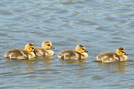 Middletown, New York - Canada geese  goslings move across the lake at Fancher-Davidge Park on May 10, 2015.