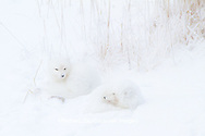 01863-01418 Arctic Foxes (Alopex lagopus) curled up along bank in snow Churchill Wildlife Management Area, Churchill, MB