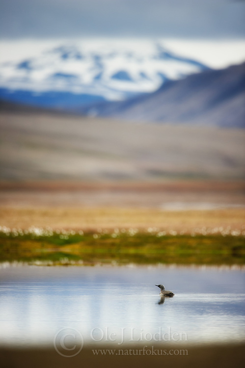 Red-throated Diver in Spitsbergen, Svalbard