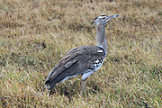 Kori bustard (Ardeotis kori). This large bird inhabits short grass plains throughout eastern and southern Africa. It can reach over a metre in height and feeds mainly on insects and lizards. Photographed in Tanzania, Serengeti National Park