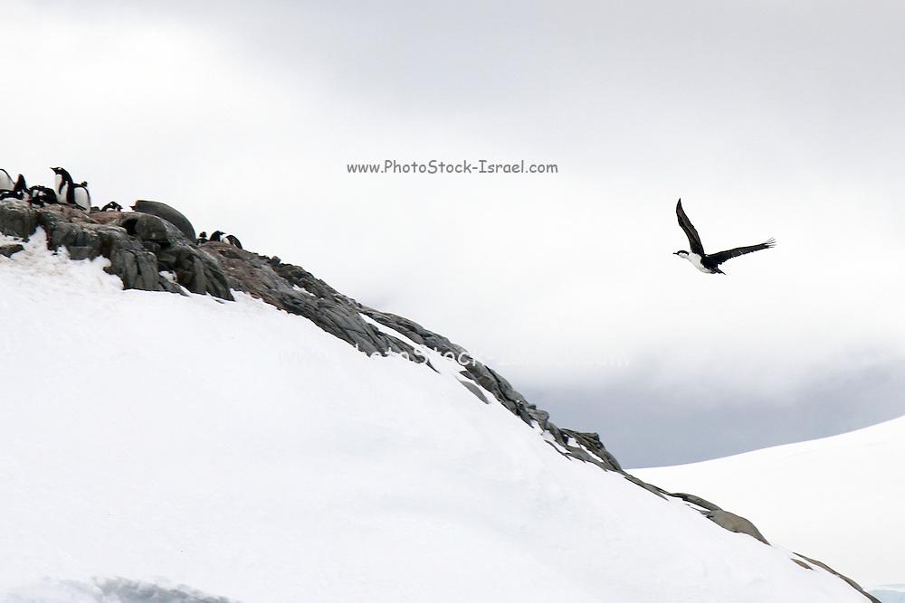 Imperial Shag AKA Antarctic Shag (Phalacrocorax atriceps) flies over a colony of Gentoo penguins (Pygoscelis papua). Photographed at Paradise Harbor, Antarcticain November
