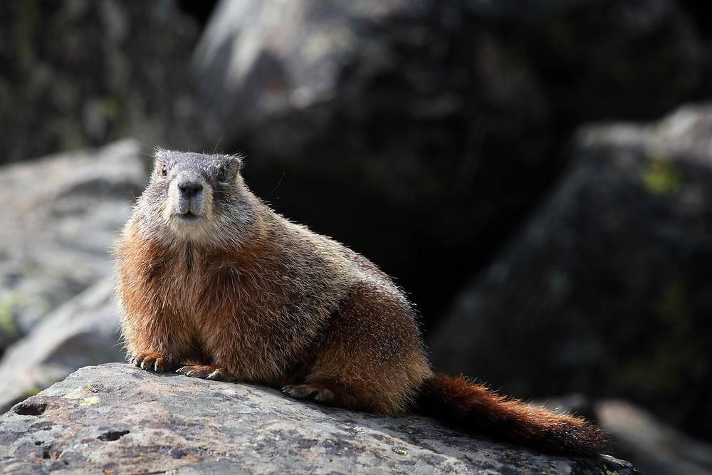A marmot pauses on a rock