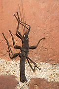 Close-up of a Peruvian black beauty stick insect (Peruphasma schultei) resting on a brick wall at the Long Sutton butterfly and Wildlife Park, Lincolnshire