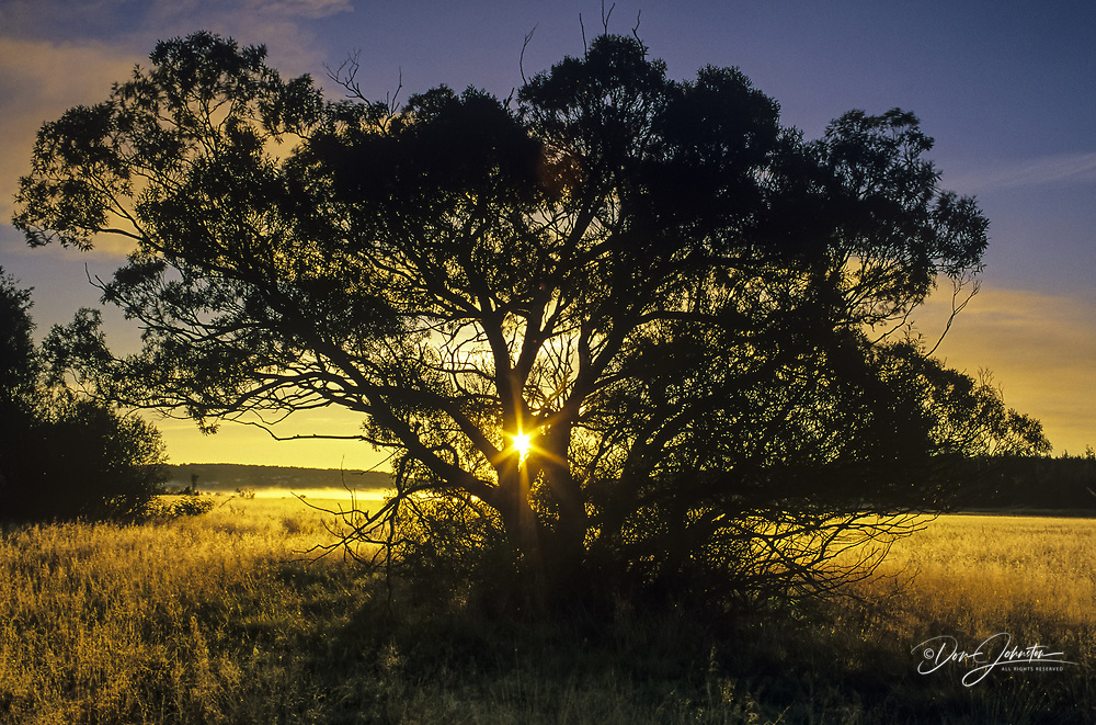 Black willow trees silhouetted in meadow at sunrise, Greater Sudbury, Ontario, Canada