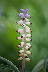 Muscari ambrosiacum<br /> syn. Muscari muscarimi, Muscari moschatus. Grape hyacinth
