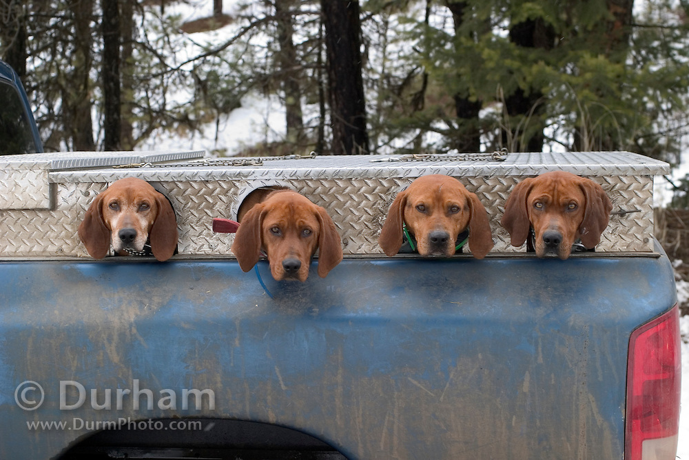 Ted Craddock's hound dogs in their special truck kennel. Wallowa county, Oregon. These dogs are used for tracking wild animals, such as cougar, bear, and bobcat and aid researchers when they need to find these elusive animals.