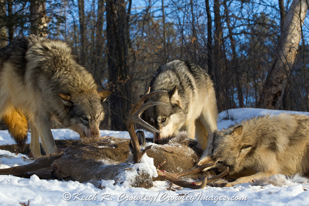 A pack of gray wolves feed on a large buck deer carcass in wooded winter habitat. Captive pack.