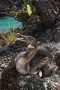 Flightless Cormorant (Phalacrocorax harrisi) on nest with eggs<br /> Isabela Island. Western Isles of Galapagos Islands<br /> ECUADOR.  South America<br /> These are the largest of the world's 29 cormorant species and the only one that has lost the power of flight. They live very locally to the shores of Isabela and Fernandina Islands and although they can not fly still retain vestigial wings which help them to balance when jumping from rock to rock. As they do not produce much oil to waterproof their wings they must dry out their wings when they return to shore. Nests are constructed of seaweed, flotsam and jetsam and are never more than a few meters from shore. Usually up to 3 eggs are layed.<br /> ENDEMIC TO GALAPAGOS
