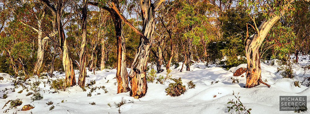 Snow gums glowing in the late afternoon light after an early Spring heavy snowfall, on the Central Plateau of Tasmania.<br /> <br /> Limited Edition Print; Edition of 125