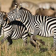 Two male Burchell's Zebra (Equus quagga burchellii) fight for the dominant roll in herd. Masa Mara National Reserve, Kenya, Africa