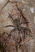 Huntsman spider. Heteropoda sp, Panama, Central America, Gamboa Reserve, Parque Nacional Soberania, on tree trunk in forest