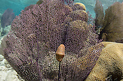 Flamingo Tongue (Cyphoma gibbous) on Common Sea Fan (Gorgonia ventalina)<br /> Lighthouse Reef Atoll<br /> Belize<br /> Central America