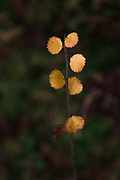 Dwarf birch (Betula nana) with autumn painted yellowish leaves in dark bog forest, near Valmiera, Vidzeme, Latvia Ⓒ Davis Ulands | davisulands.com