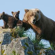 Brown bear mother and cubs, Alaska.