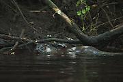 Eurasian otter (Lutra lutra) in river Iesala, Northern Vidzeme, Latvia Ⓒ Davis Ulands | davisulands.com
