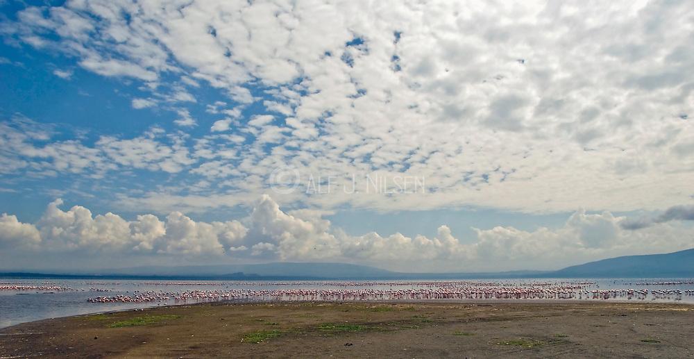 Large flock of Lesser Flamingoes at the shore of Lake Nakuru, Kenya