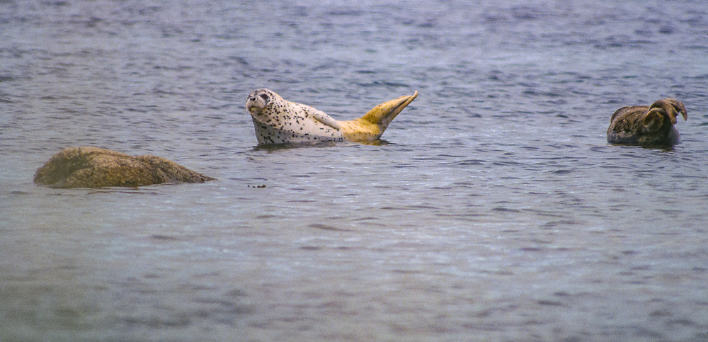 Seals, Senyvina Strait, Bering Sea, NE Russia