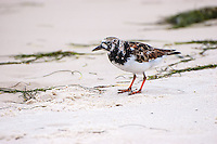 An adult male ruddy turnstone is almost in complete breeding plumage on the northern coast of the Gulf of Mexico in Carrabelle, Florida on a windy overcast April afternoon.