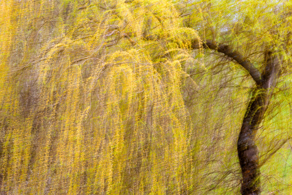 Willow in the wind, St.flour l'Etang