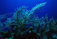 Forked Sea Feather (Pseudopterogorgia bipinnata) and soft coral. Florida Keys