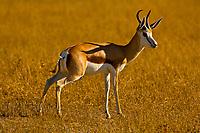 Springbok running, Etosha National Park, Namibia