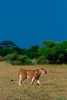 Lioness walking, Nxai Pan National Park, Botswana.