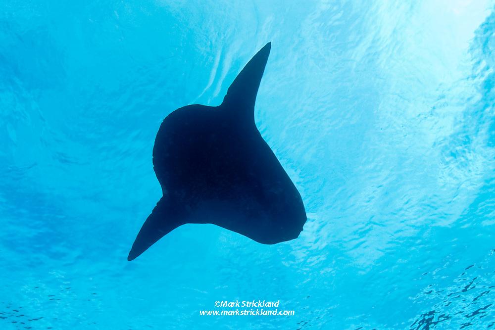 This distinctive silhouette belongs to the heaviest of all bony fish, an Ocean Sunfish, Mola mola. Banda Sea, Indonesia, Pacific Ocean